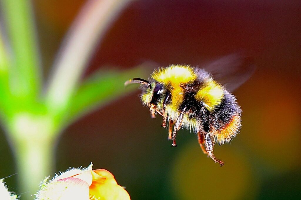 bumble bee, insect, f