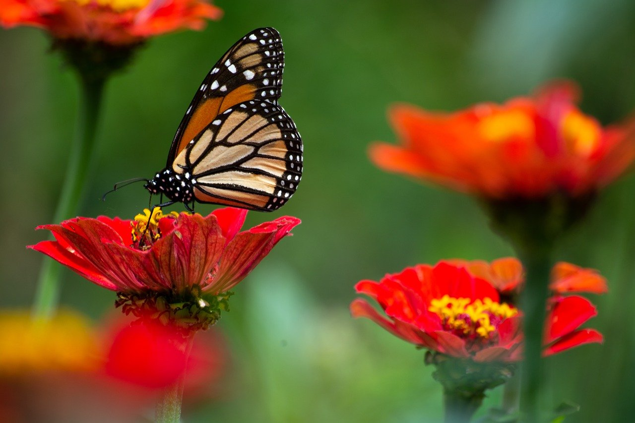 butterfly, flowers, insects